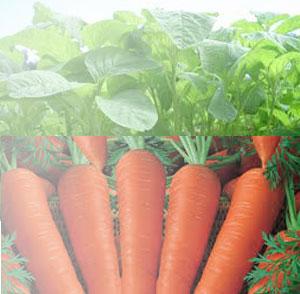 gambar sayuran hijau