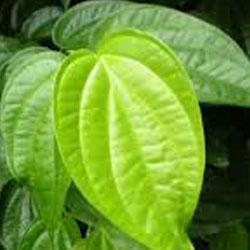 manfaat daun sirih untuk obat sakit gigi