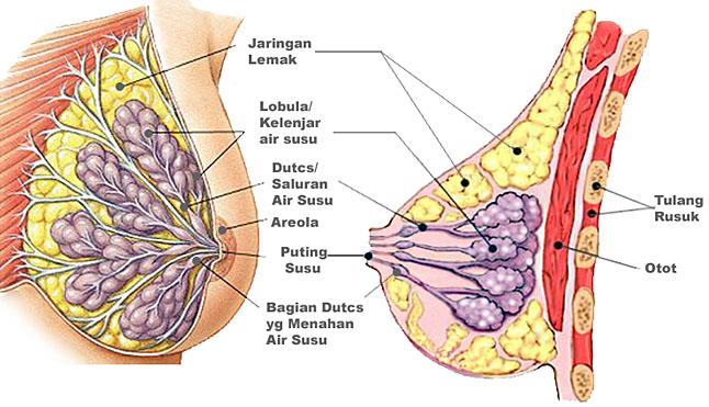 gambar anatomi payudara dari www.tanyadok.com